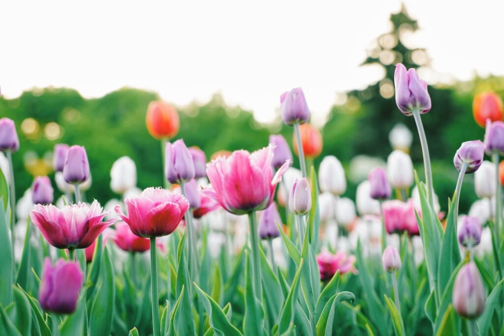 tulips in a field